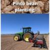 Pinto bean planting - June 2021