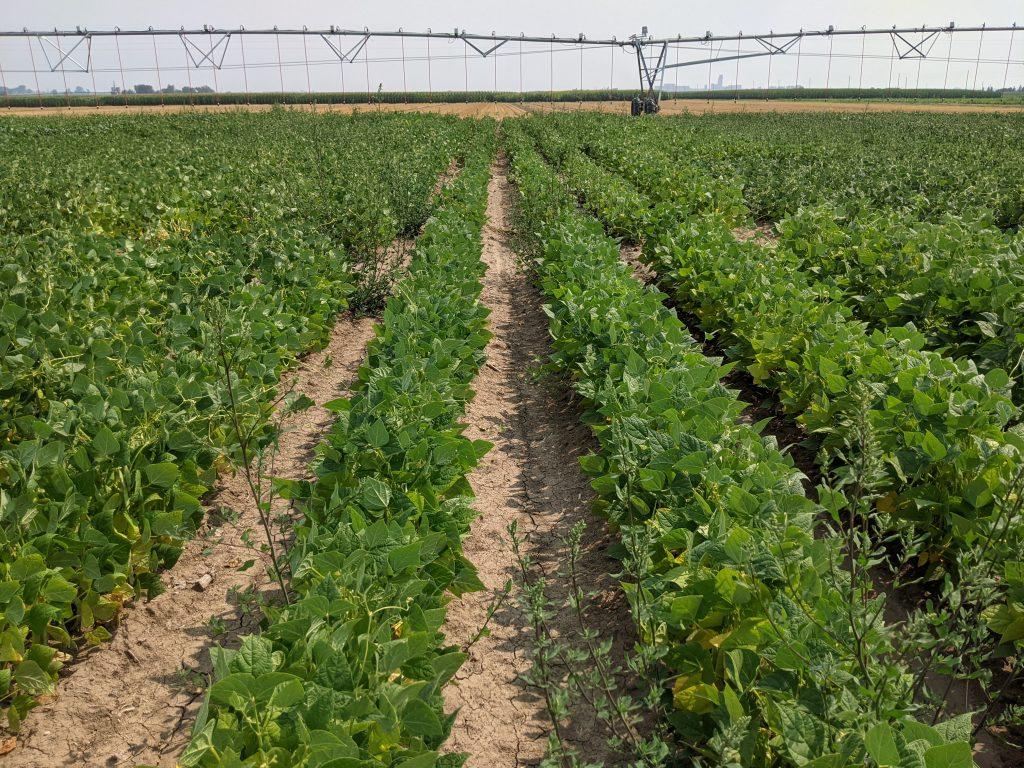 CSU ARDEC experimental bean plots-1