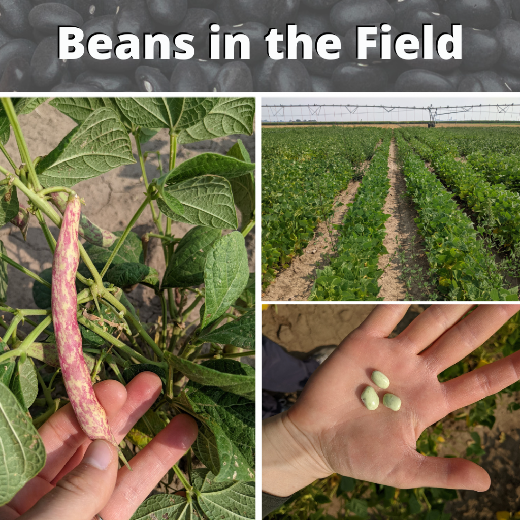 Beans in the field - Aug 2021