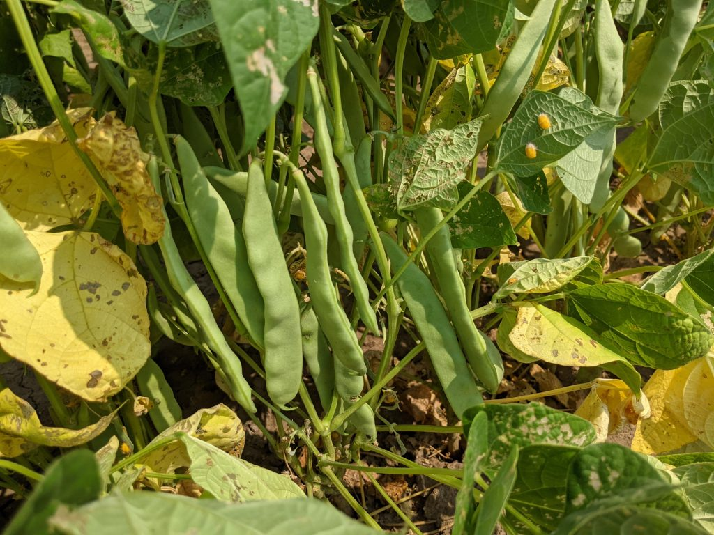 Pinto beans in their pods-1